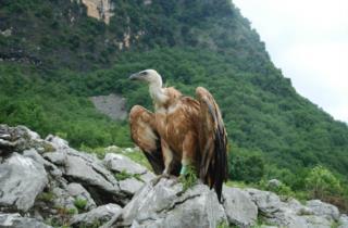 grifone-natura-animali-friuli_foto di Fulvio Genero